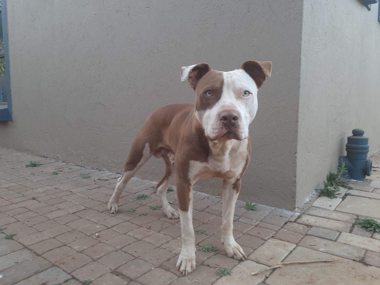 Pitbull Puppies in Pretoria (05/10/2021)