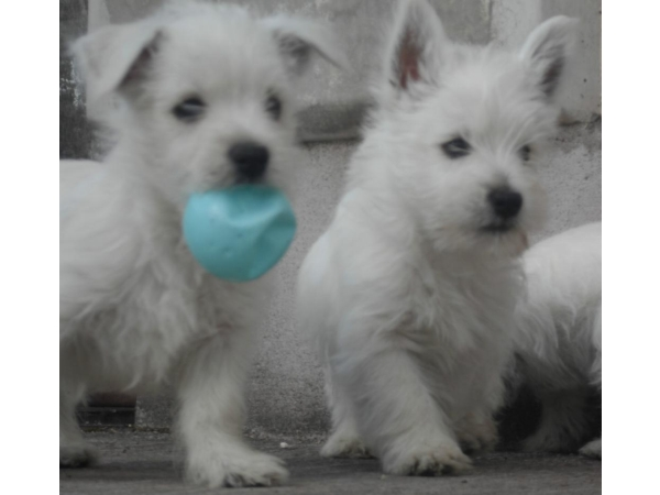 Pure Breed West Highland Terriers