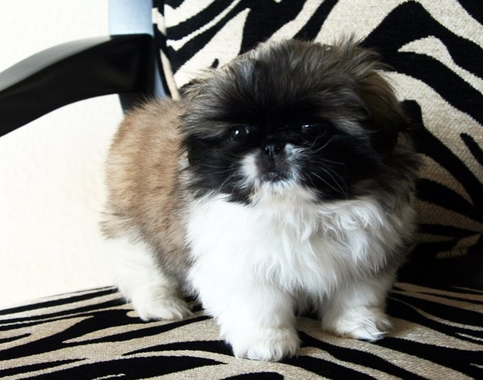 Miniature Pekingese puppies available for sale.
