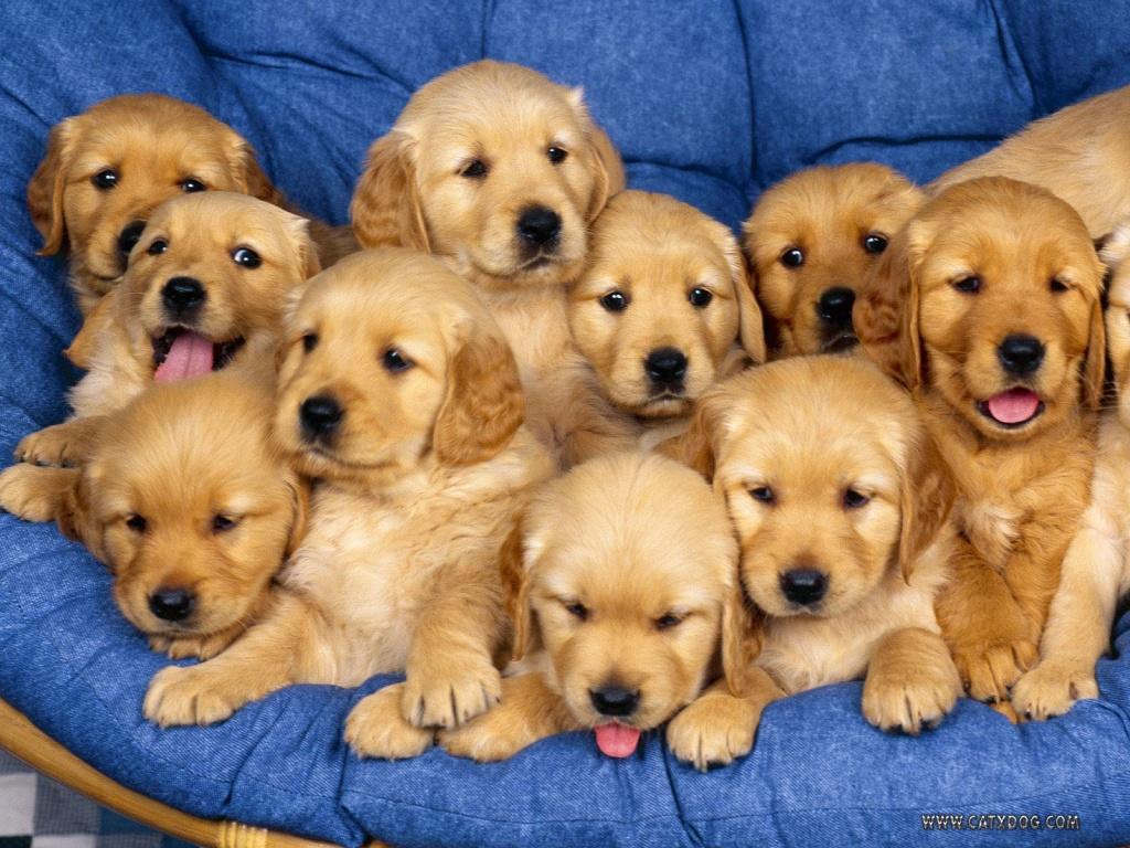 Adorable Male And Female Golden Retriever Puppies