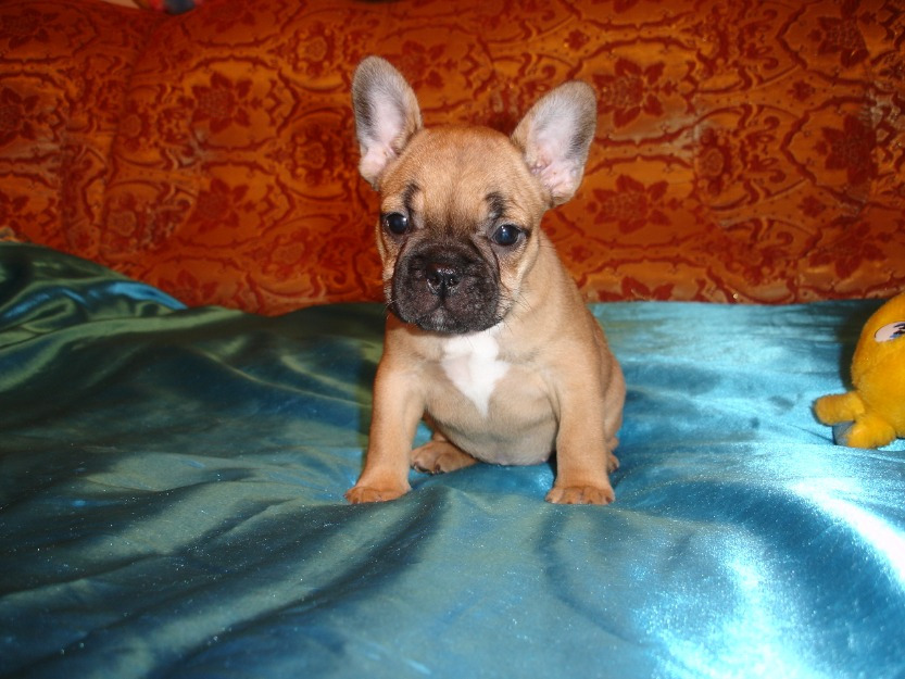 Bulldogs puppies for sale