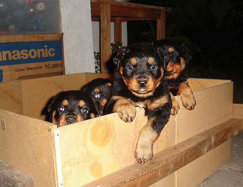 Pure breed Rottweiller puppies for sale