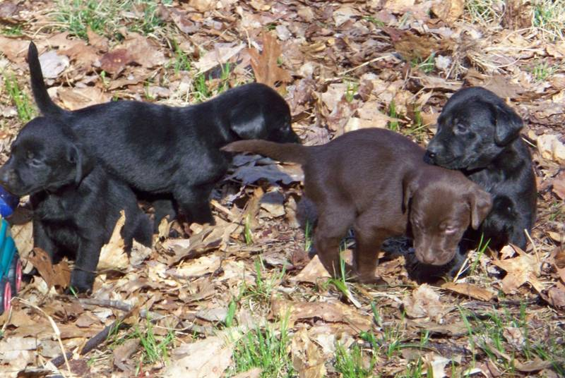 KUSA Labrador Retriever Puppies