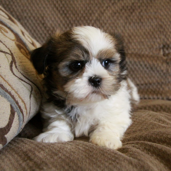 Shih Tzu Puppies! Males Available
