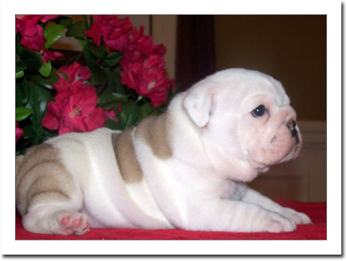 English Bulldog puppies for sale to loving homes.