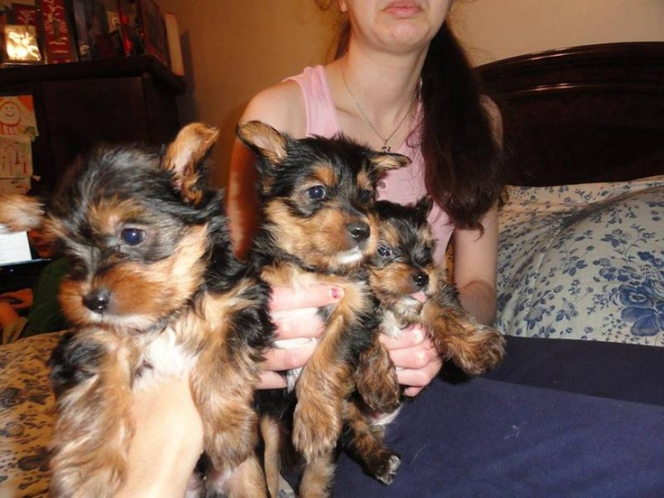 Yorkshire Terrier (yorkie) puppies for sell – cute, small, amazing