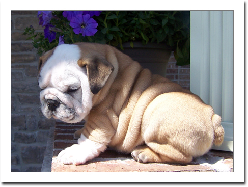Available Males and females English Bulldog puppies for sale