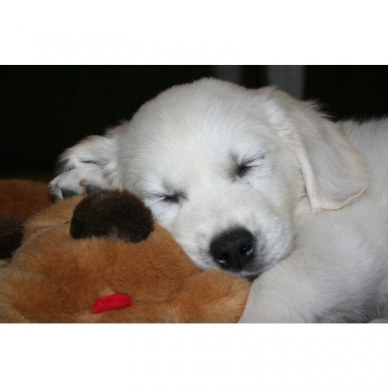 English Golden Retriever puppies for sale