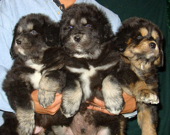 Cute and Lovely Tibetan Mastiff Puppies For Sale to pet lovers