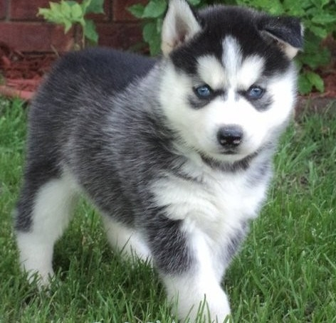male and female blue eye siberian husky availablle
