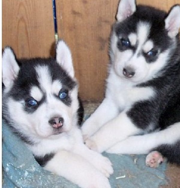 Caring looking siberian husky puppies for sale