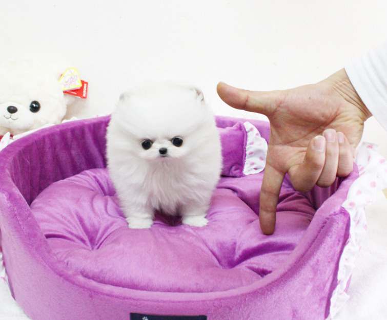 Cute Teacup Size Pomeranian Puppies for caring homes