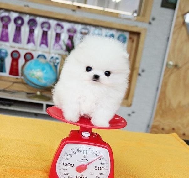 Tiny & Toy size Amazing Micro White Pomeranian Puppies Available