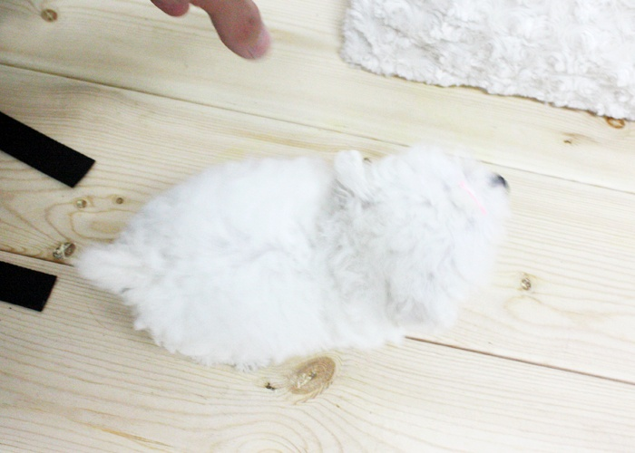 Pretty, White Toy-poodle Puppies for Sale