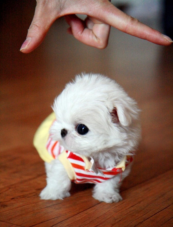 MALTESE PUPPIES- T-Cups