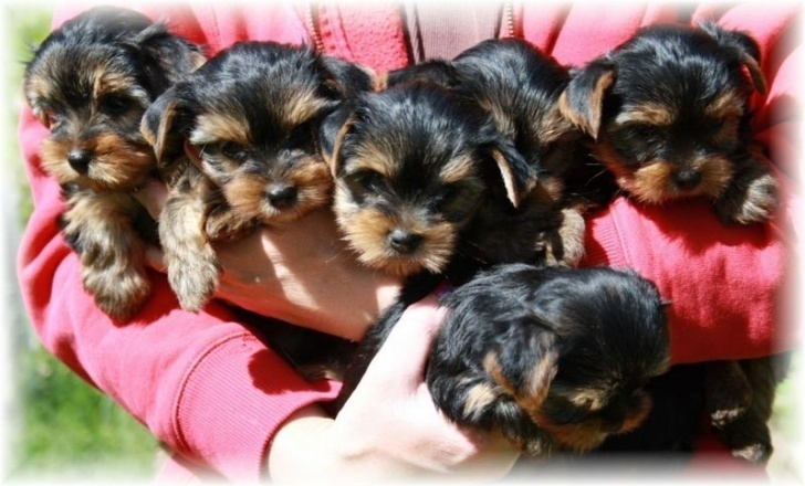 Tiny Teacup Yorkshire Terrier Puppies