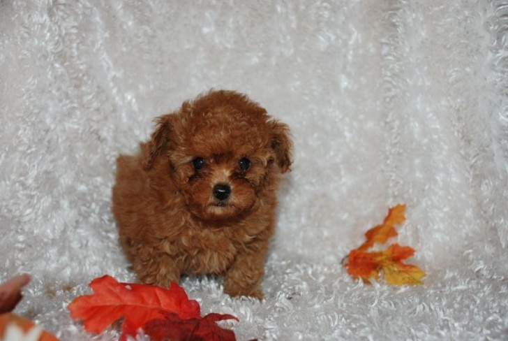 Micro teacup teddy bear face poodle puppies for sale