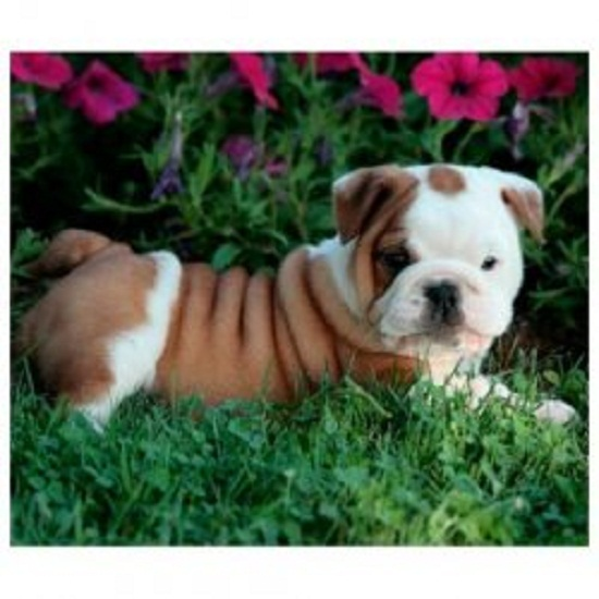 Healthy & Well Trained English Bulldog Puppies For Sale