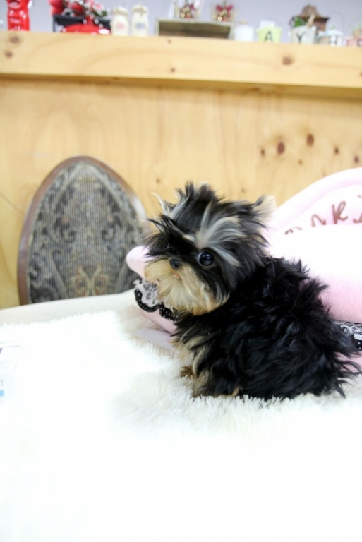 Tiny Teacup Yorkies Puppies For Adoption (Male/Females)