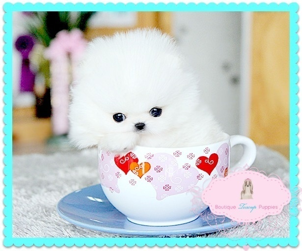Adorable White Toy Pom Puppies For Sale.