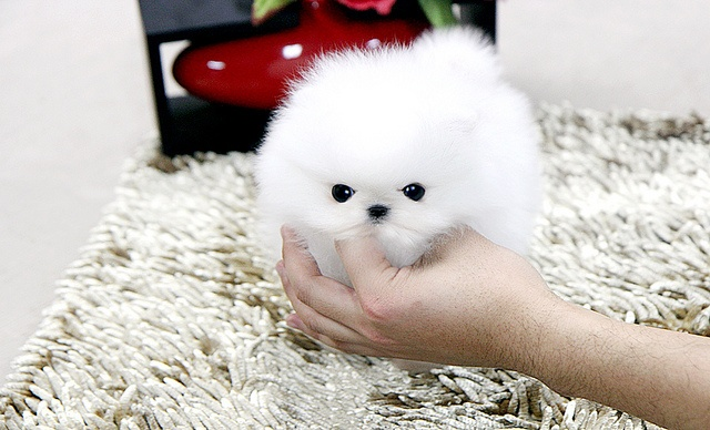 5 Quality Teacup pomeranian Puppies
