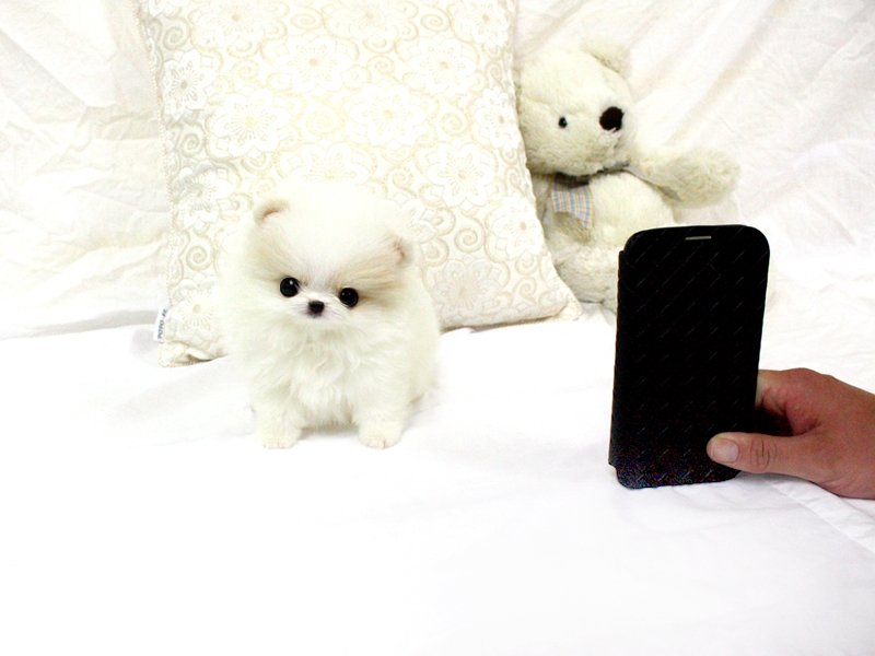 Charming Toy Poms Puppies For Sale.