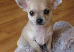 Lovely Healthy Chihuahua Puppies Ready For Good Home