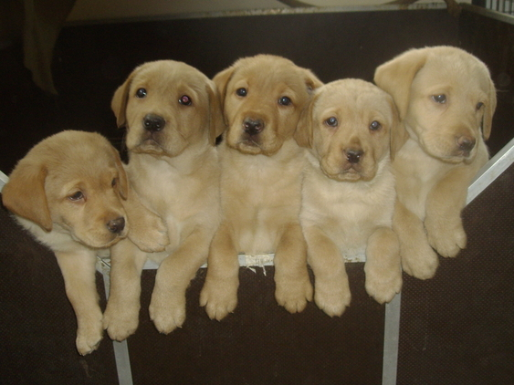 Yellow Labrador pups for sale!
