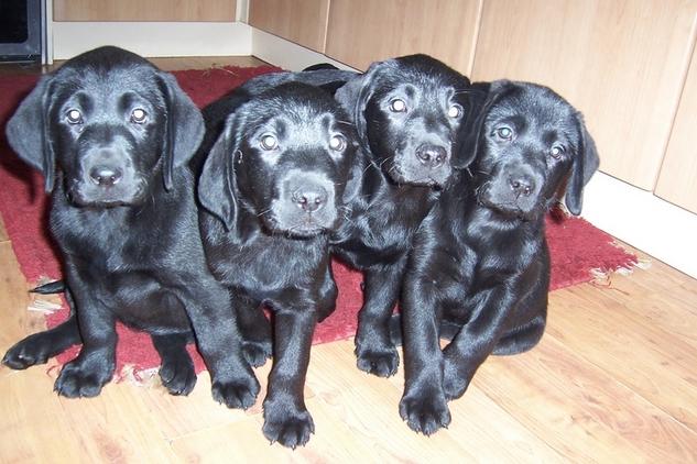 beautiful pedigree chunky black labrador puppies