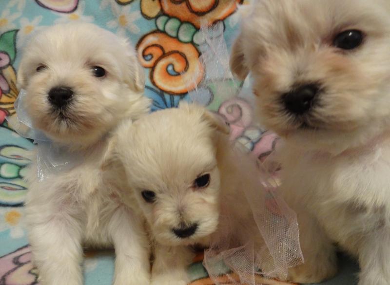 Cute maltese puppies for adoption!!