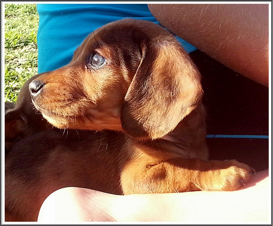 Miniature Smooth Dachshund Puppies