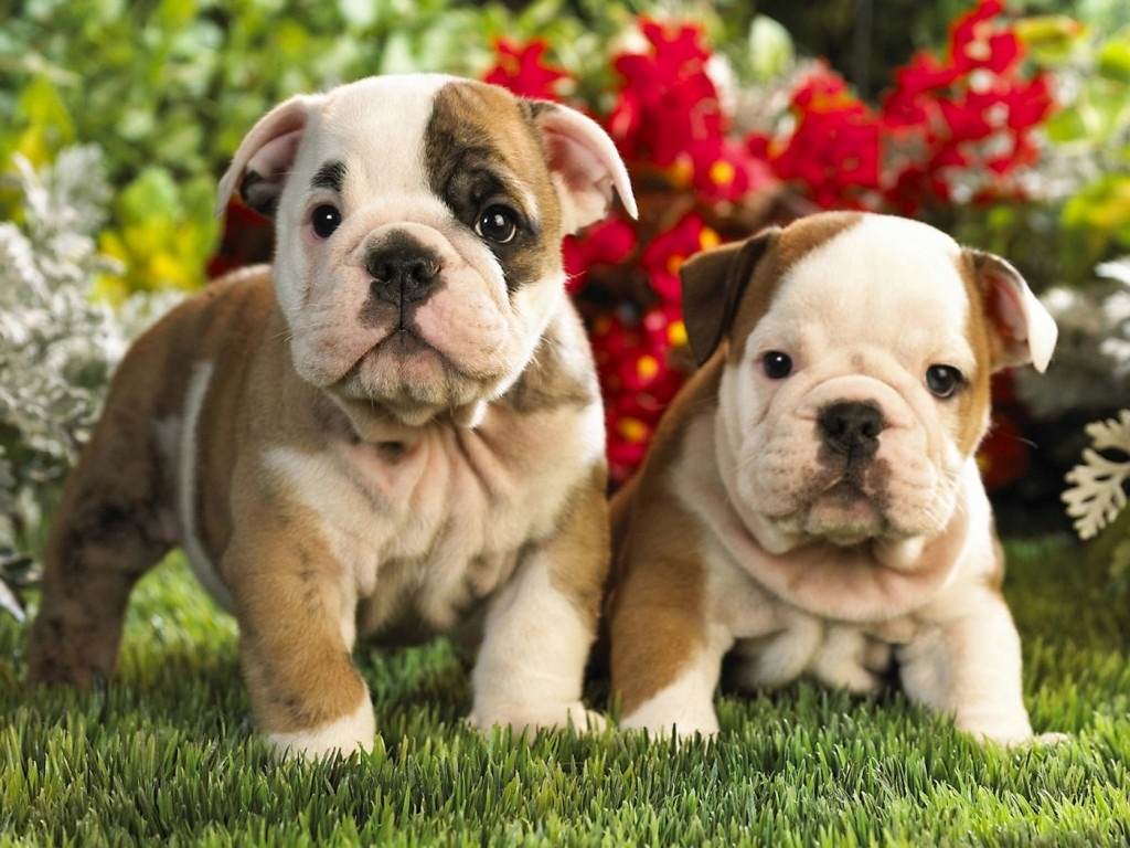 Outstanding French Bulldogs Ans English Bulldog Puppies For Sale
