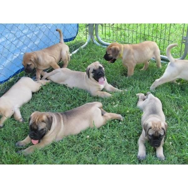 3 Males and 7 Females Bullmastiff Puppies for Sale
