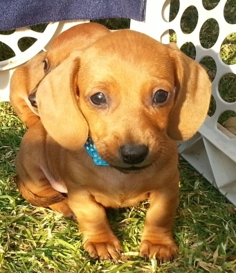 2 miniature Dachshund puppies for sale