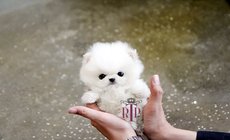 Adorable Amazing Prince Micro Teacup Platinum Quality White toy Pom