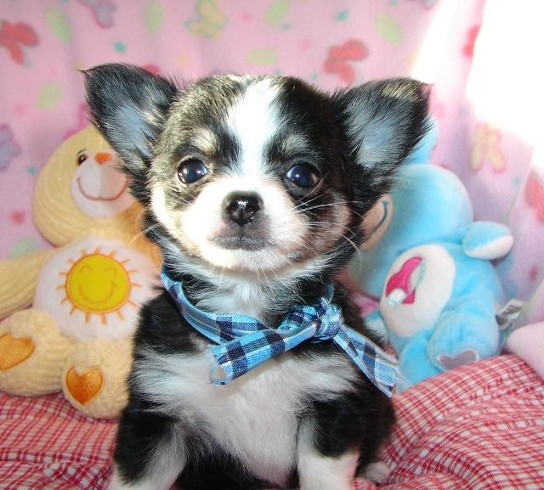 Quality Chihuahua Puppies available to good homes !!