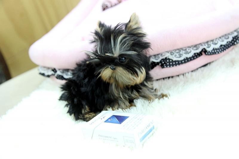 Adorable Teacup Yorkie Puppies For Sale.