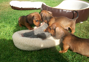 Miniature Smooth Coated Dachshund Puppies For Sale