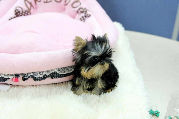 Micro Pocket Tiny Teacup Yorkie pups contanct us now on