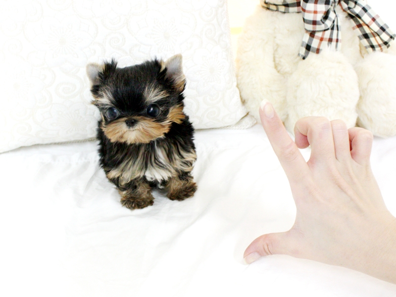 Tiny Teacup Yorkies Puppies For Sale Now.