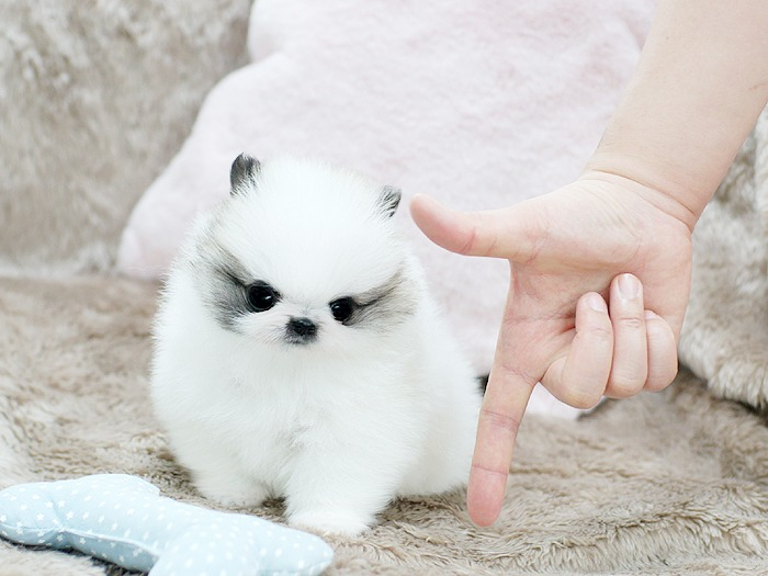 Cute Toy Pom Puppies For Sale