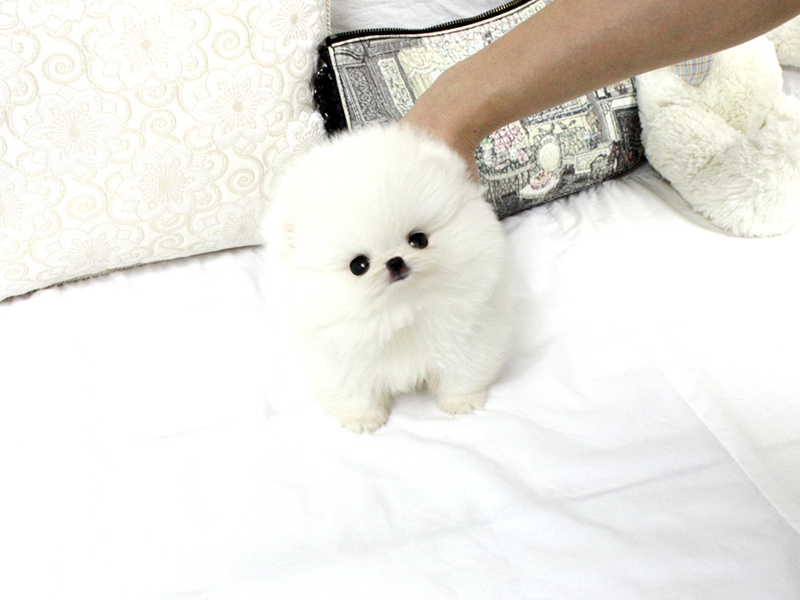 Adorable Toy Pom Puppies For Sale.