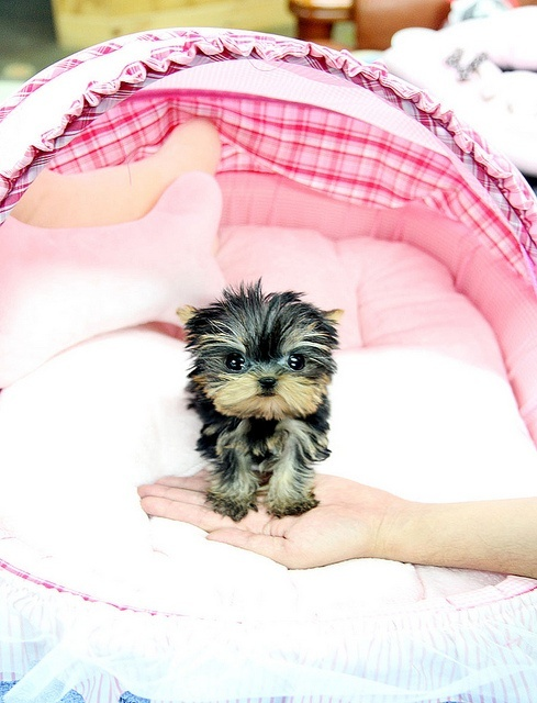 CHARMING TEACUP YORKIE PUPPIES FOR SALE