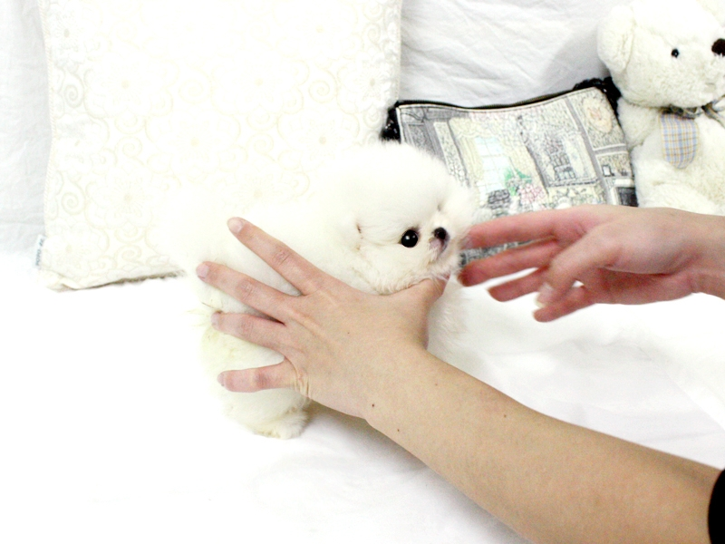 CUTE TOY POMERANIAN PUPPIES FOR SALE