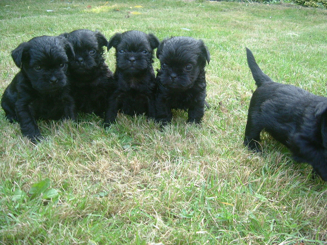 Awesome Affenpinscher Puppies For Sale