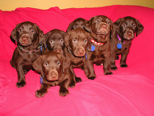 Pure Breed Chocolate Labrador Retriever Purebred Puppies