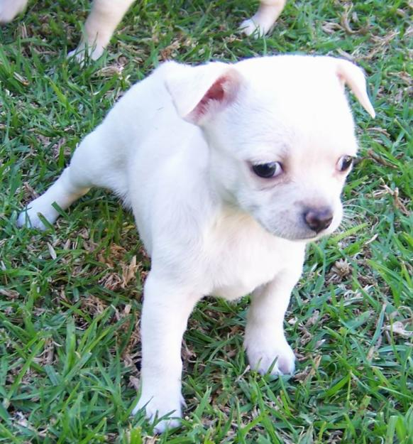 Affectionate Chihuahua Puppies Available
