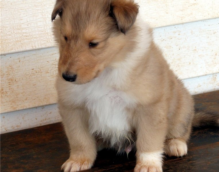 Beautiful Collie puppies for sale