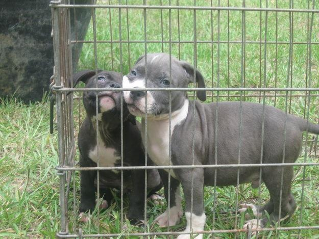 New Litter Pitbull Puppies Available For Sale