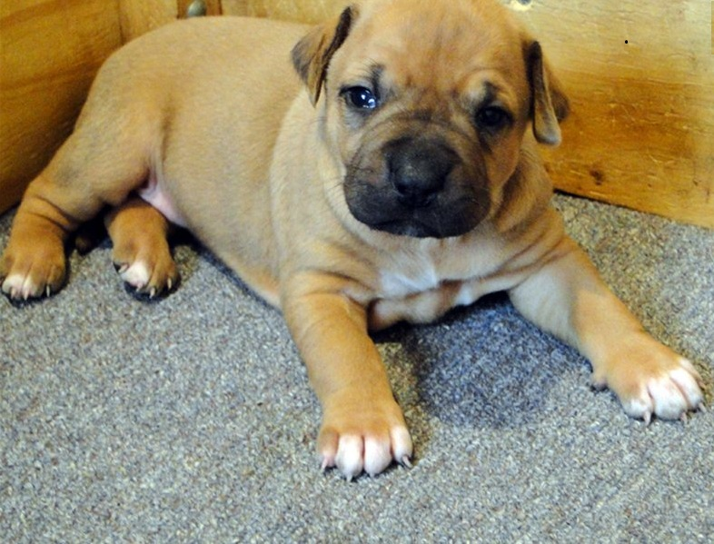 Beautiful Pedigreed Bull Terrier Puppies for Sale